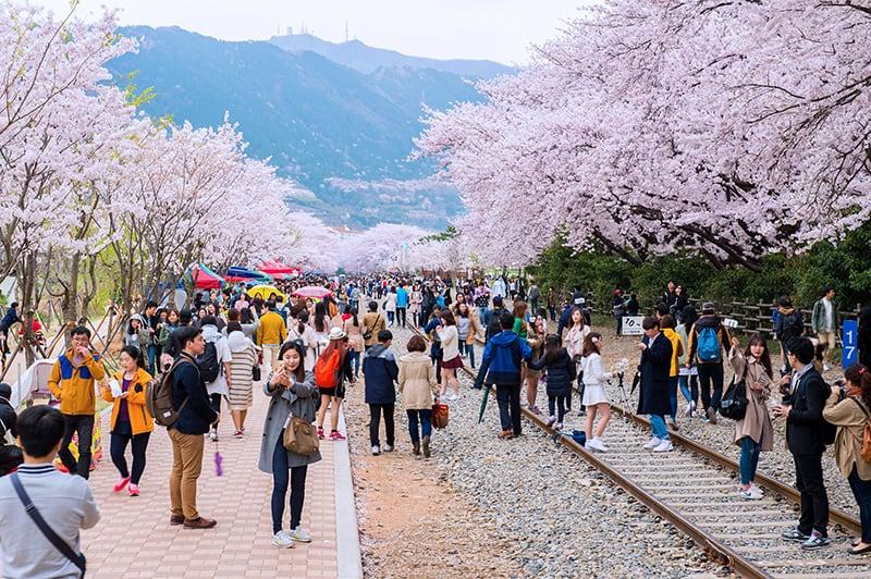 ซากุระ-เกาหลี